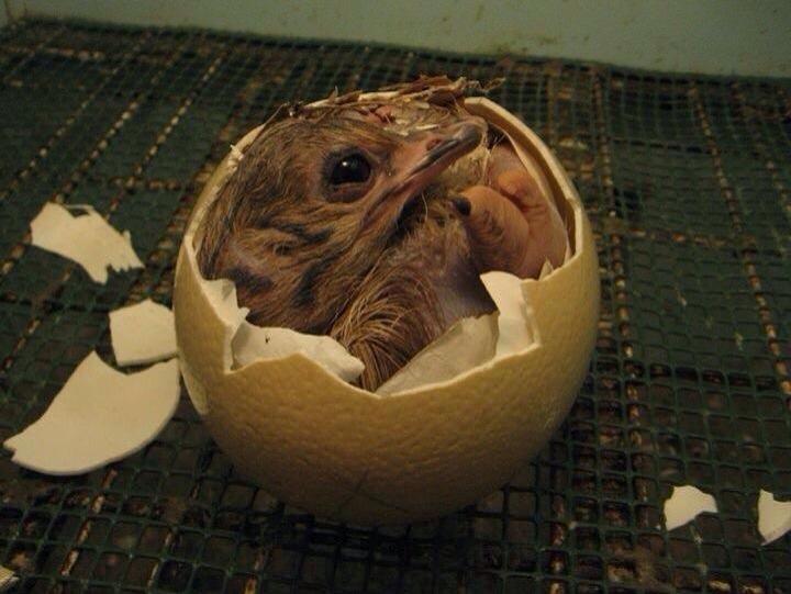 Pulcino di struzzo al momento della nascita