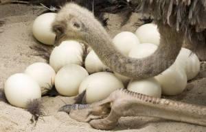 struzzo uova