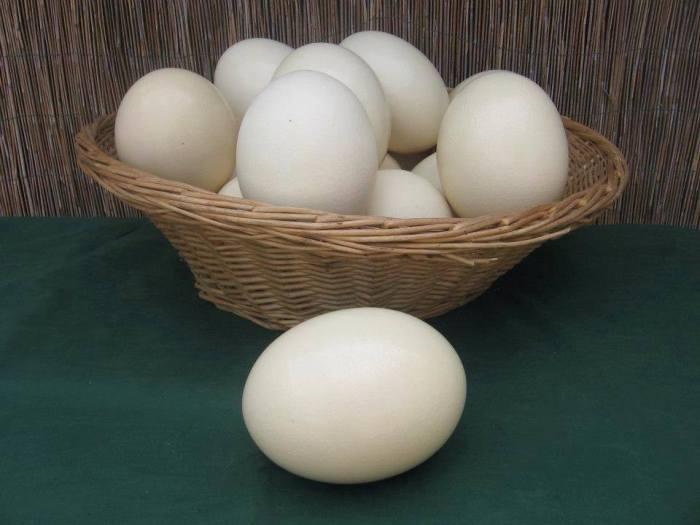 Uova di struzzo il cascinetto