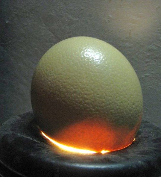 uovo di struzzo 38 giorni