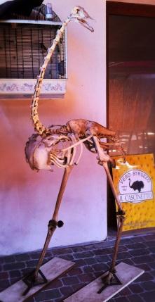 scheletro struzzo ricostruito il cascinetto